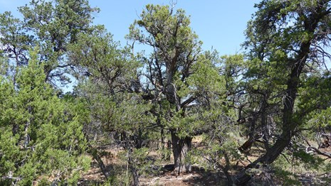 Pinyon juniper trees under a blue sky
