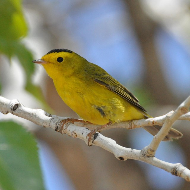Bright yellow bird with black cap and eyes and greenish wings, perched on a slender branch.