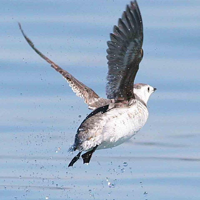 A murrelet takes flight from the surface.
