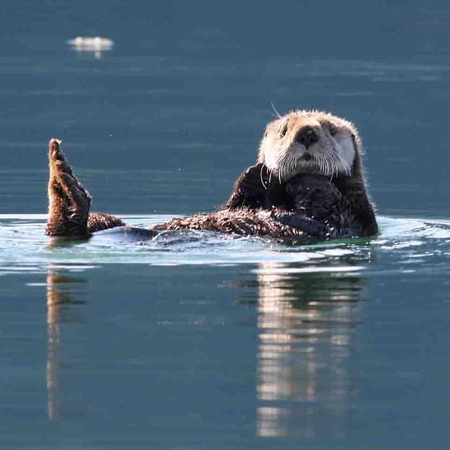 A sea otter floats comfortably looking attentive.