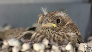 A baby house finch joins the Southeast Coast Network family