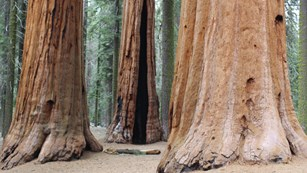 A group of mature sequoia trees with reddish trunks