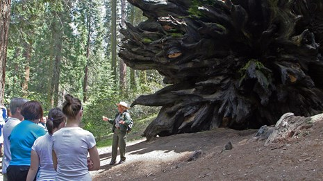 A ranger talks with park visitors near the roots of a fallen sequoia tree