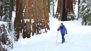 A woman skis near giant sequoias.