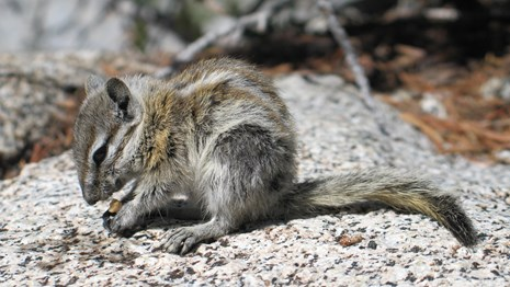 Alpine chipmunk. Photo by: Leslie Chow.