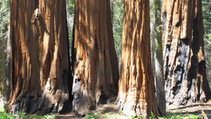 Group of giant sequoias in Giant Forest, Sequoia National Park