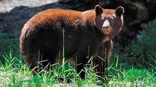 Large brown-colored black bear