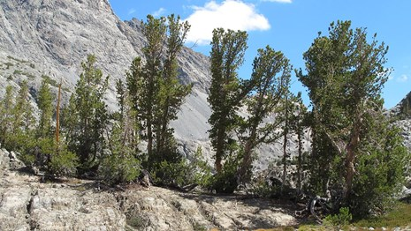 Whitebark pine is characteristic of the Sierra subalpine forests.