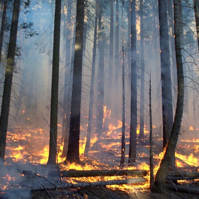 Prescribed burn in Giant Forest, June 2014. Photo: Tony Caprio.