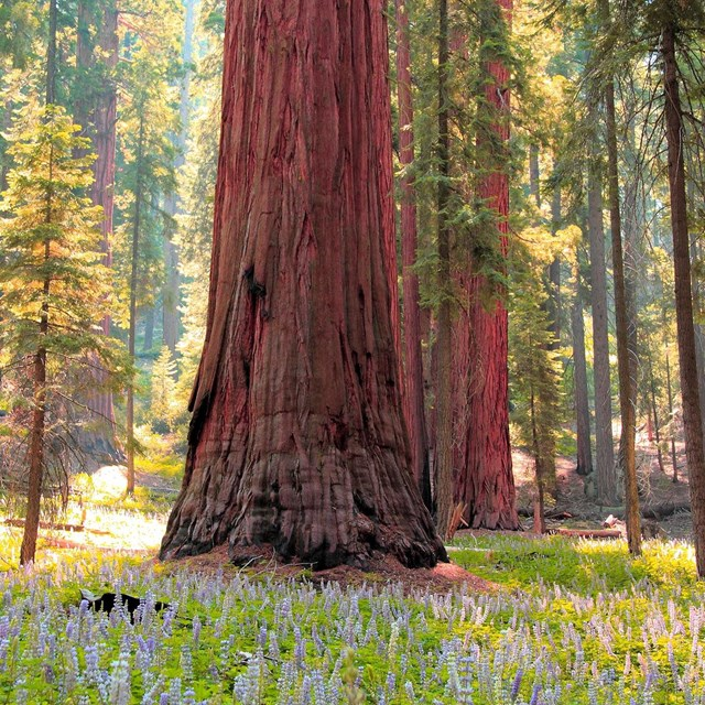 Sequoia and blooming flowers. Photo by David Dinette.