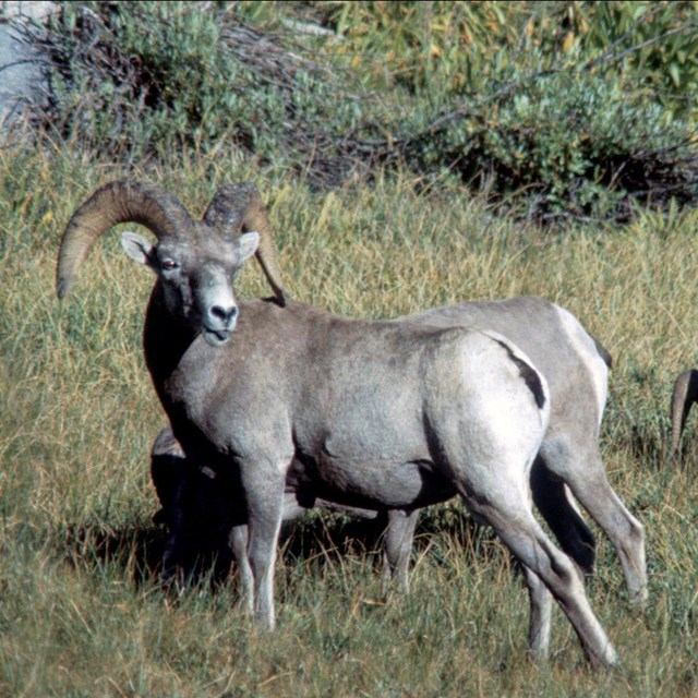 Sierra Nevada bighorn sheep rams. Photo: David Graber