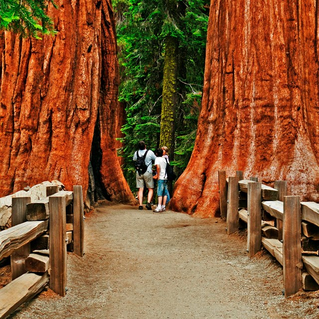 Trails in Giant Forest offer an up-close view of giant sequoias