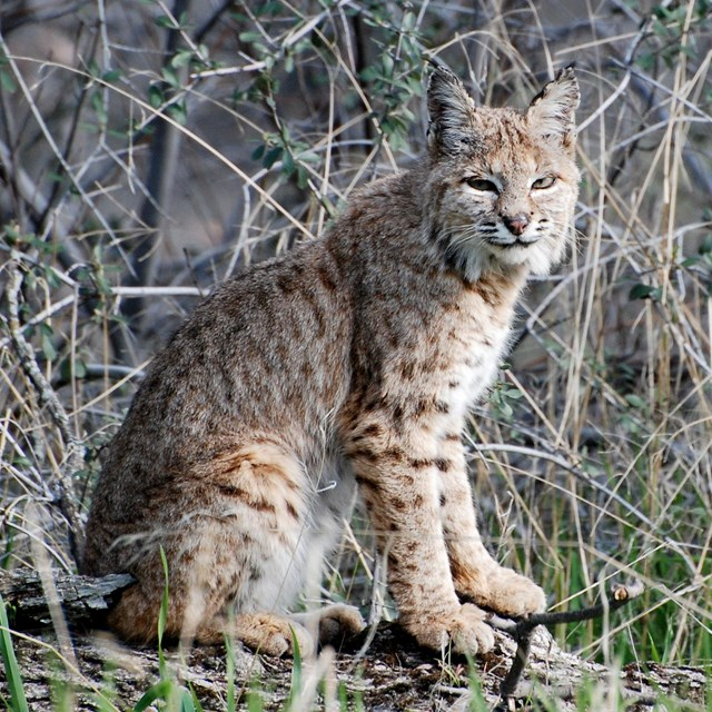 A bobcat sits among dry shrubs