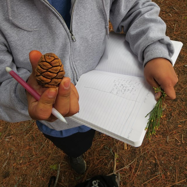 A close up of a student's hands holding a sequoia cone, a notebook, and sequoia needles