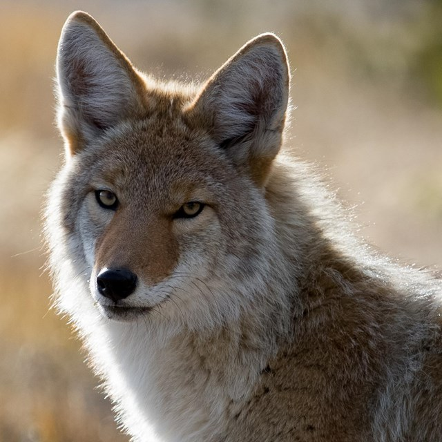 Photo of a coyote looking toward camera