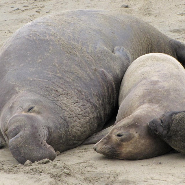 A male, female, and pup elephant seal sleep next to each other