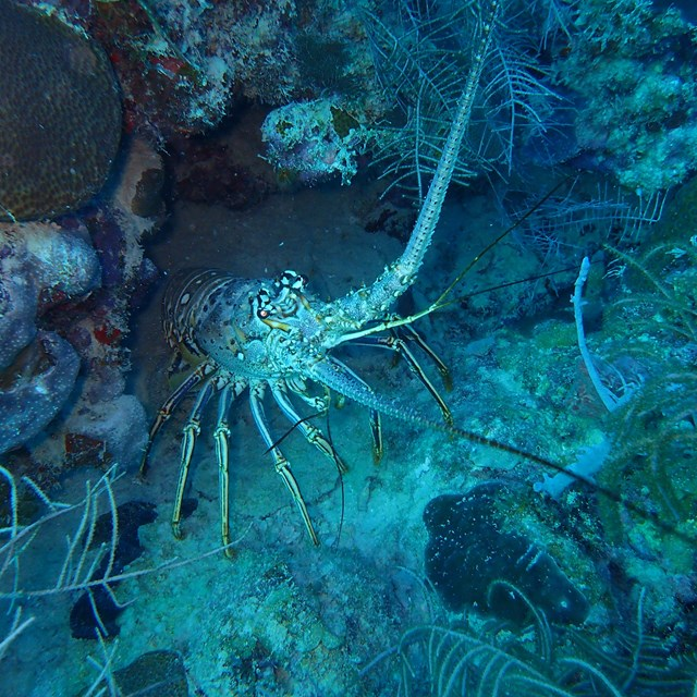 Spiny lobster resting in the bottom of a coral reef