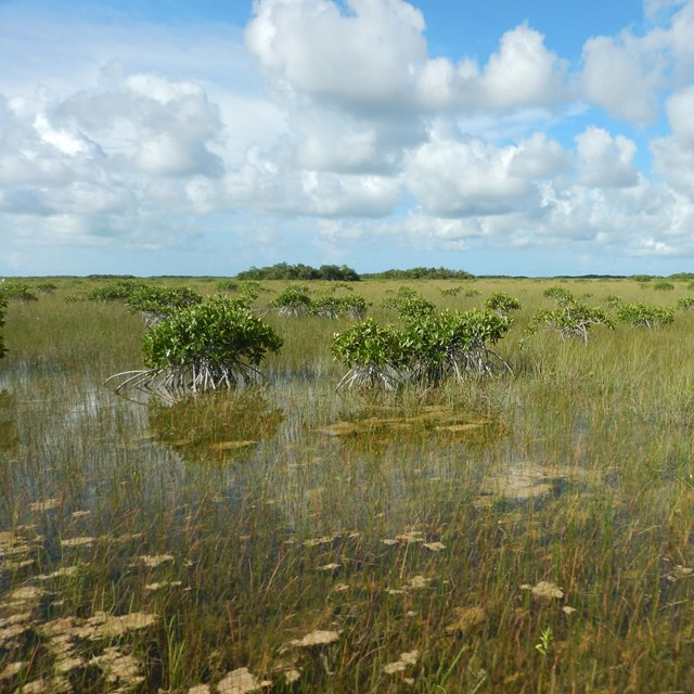 Dwarf mangroves off in the distance in a marsh