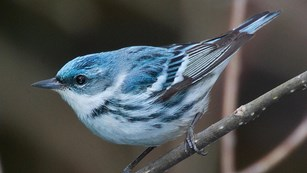 a color photograph of a blue and white bird perched on a branch.