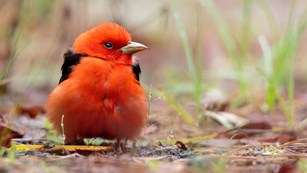 A red bird sitting on the ground looking to the right
