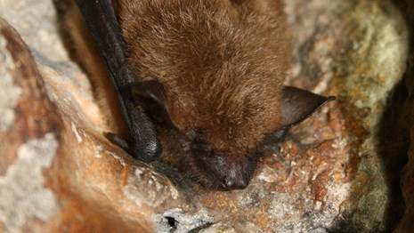 A big brown bat hanging vertically from the side of a rock wall.