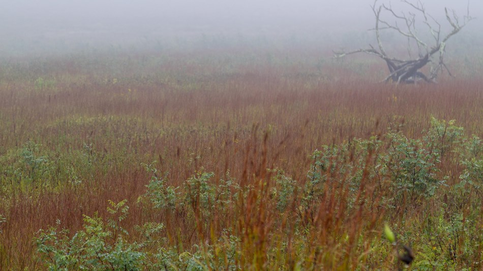 Red and green grasses of a large meadow in the foreground; dead tree and fog in the background
