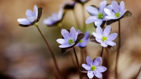 A cluster of purple and white hepatica blossoms against a brown leaf litter background.