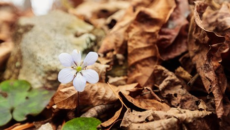 A small white flower surrounded by dead leaves.
