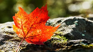 A red maple leaf sitting on a rock in the forest is backlit from the sun.