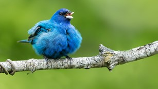 A blue bird puffed and singing.