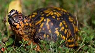 A close up of a turtle sitting in the grass facing the viewer and looking up.