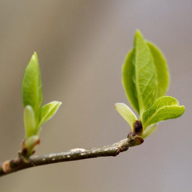 Two leaf buds emerging from a tree branch.