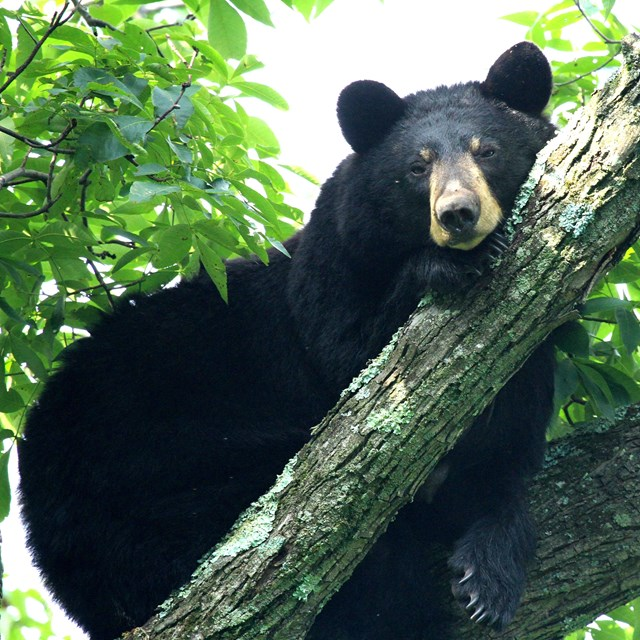 An adult black bear walk through dense vegetation in the woods.
