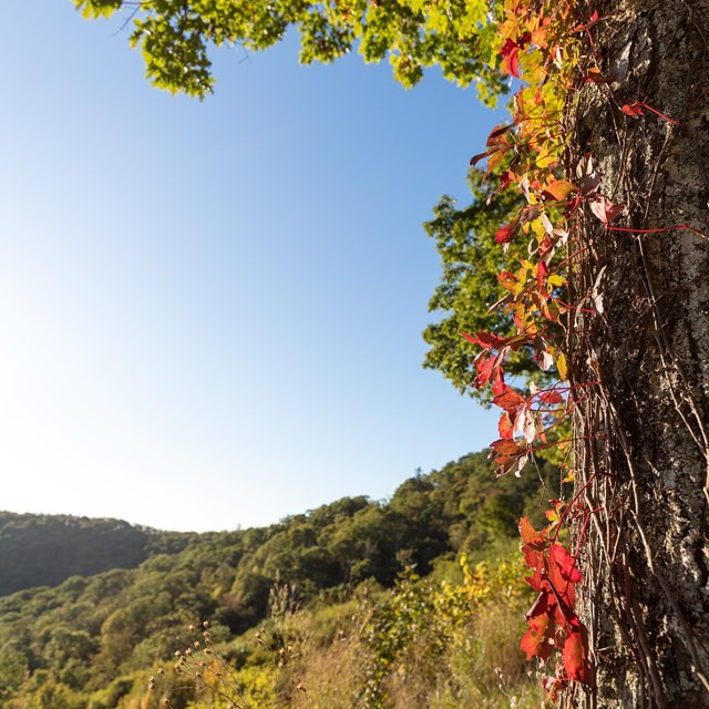 A vine with red leaves crawling up a tree looking out to mountains in the distance.