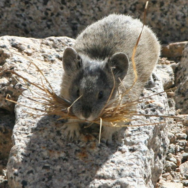 Photo of a pika on a rock with grass in its mouth