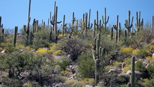 Saguaro cacti at Saguaro National Park