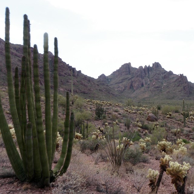 Vegetated landscape, Organ Pipe Cactus NM