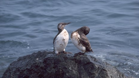 Oil stained birds perch on a San Francisco Bay rock after the Cosco Busan oil spill in 2007.