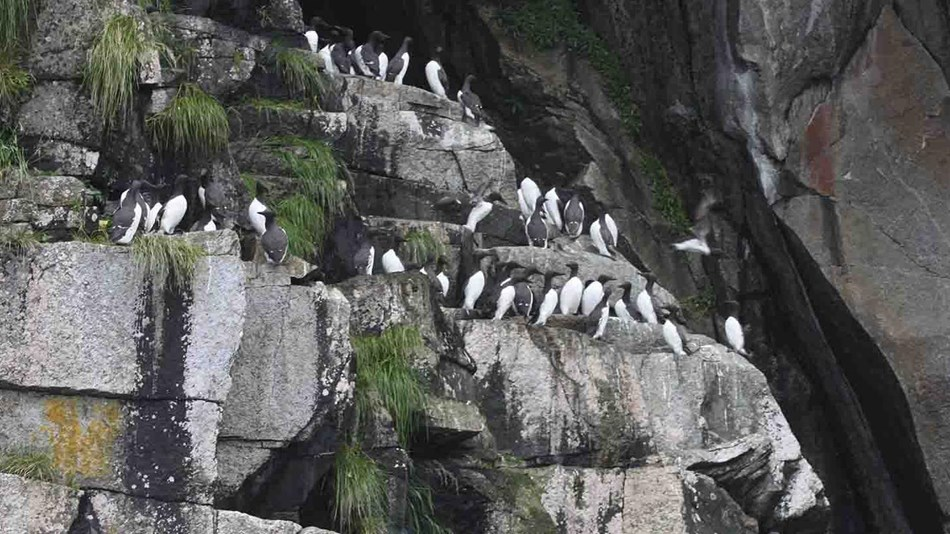 A rock cliff with seabirds nesting