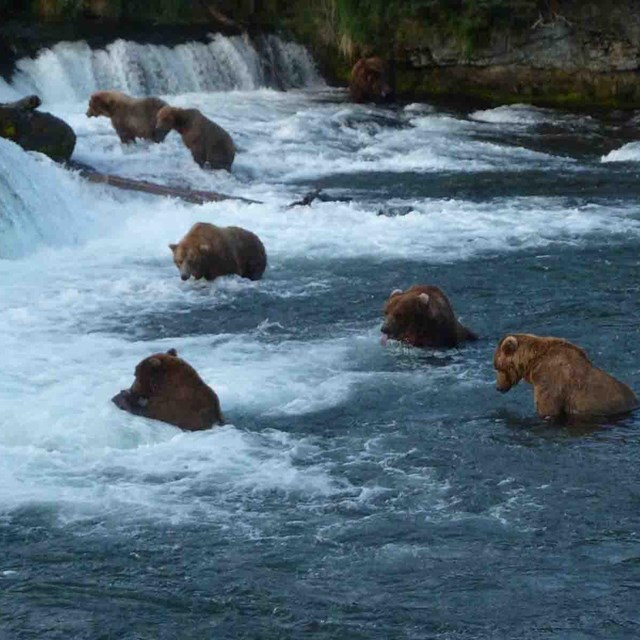 Bears fishing at Brooks Falls.
