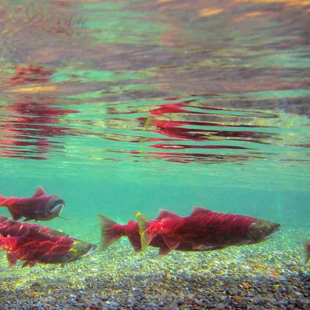 Bright red salmon in clear turquoise waters.