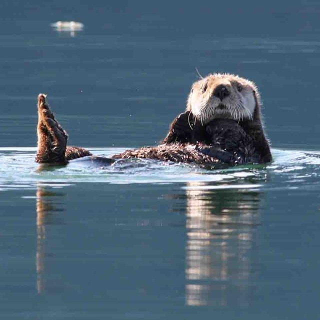A sea otter floats looking attentive.