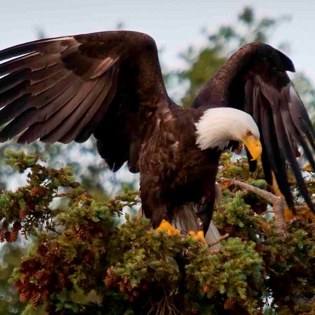 A Bald Eagle at the top of a tree.