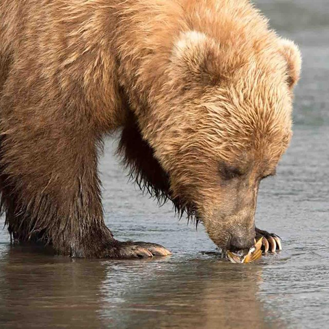 A brown bear eats a clam on the beach.