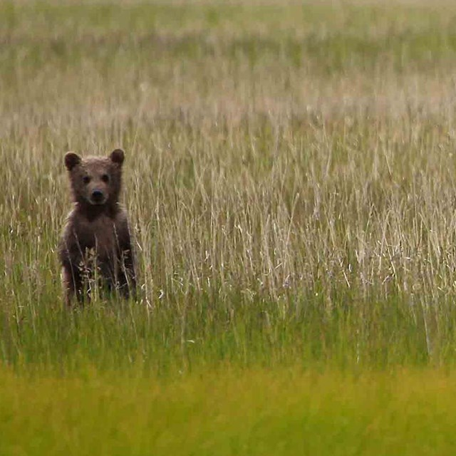 A bear in a salt marsh.