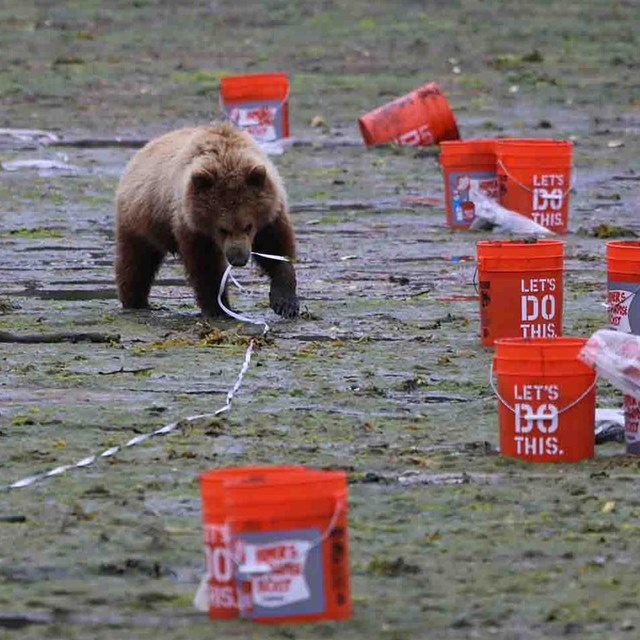 A young bear grabs a measuring tape in a monitoring transect.