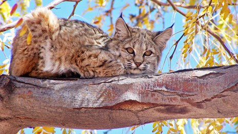 A bobcat looks down from a tree branch