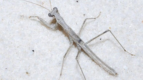 White praying mantis blends into the white sand at White Sands National Monument