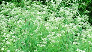 A dense stand of flowering poison hemlock