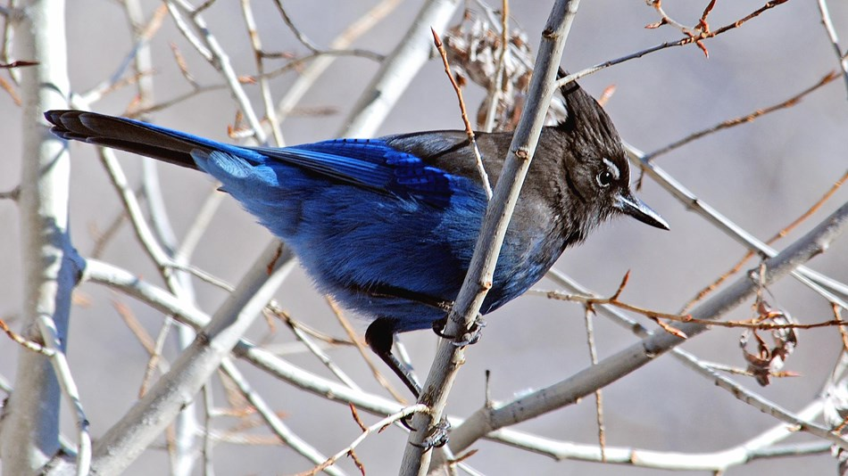 Stellar jay at Bandelier National Monument